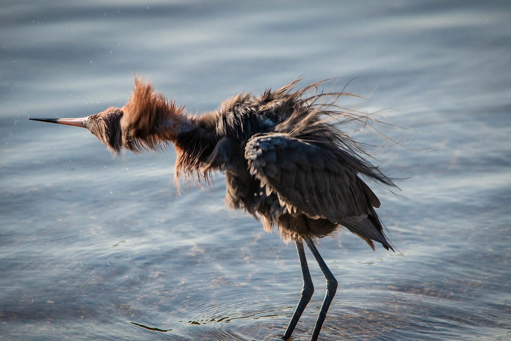 #reddishegret, #sanibel, #dingdarling, #sanibelisland, #florida, #heron, #wadingbird, #nikon, #tamron, #birdphotography, #wildlife