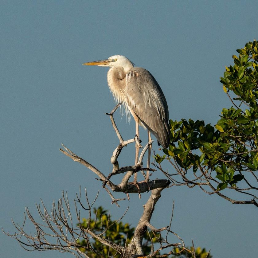 #wurdemanns, #heron, #morph, #southflorida, #rookerybay, #florida, #birdphotography, #nature, #Wildlife, #sony