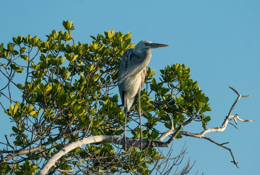#wurdemanns, #heron, #birdphotography, #bird, #southflorida, #florida, #sony, #wildlife, #nature