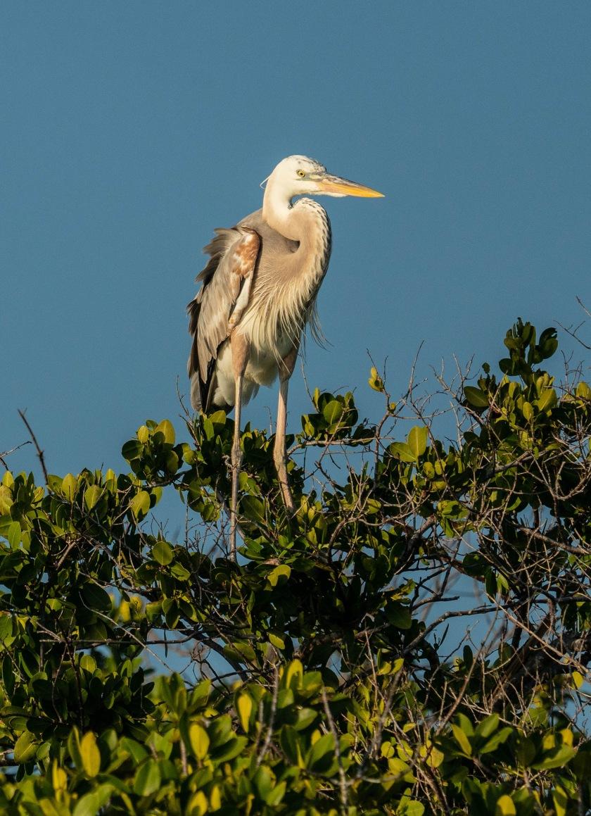 #wurdemanns, #heron, #rare, #morph, #rookerybay, #birdphotography, #sony