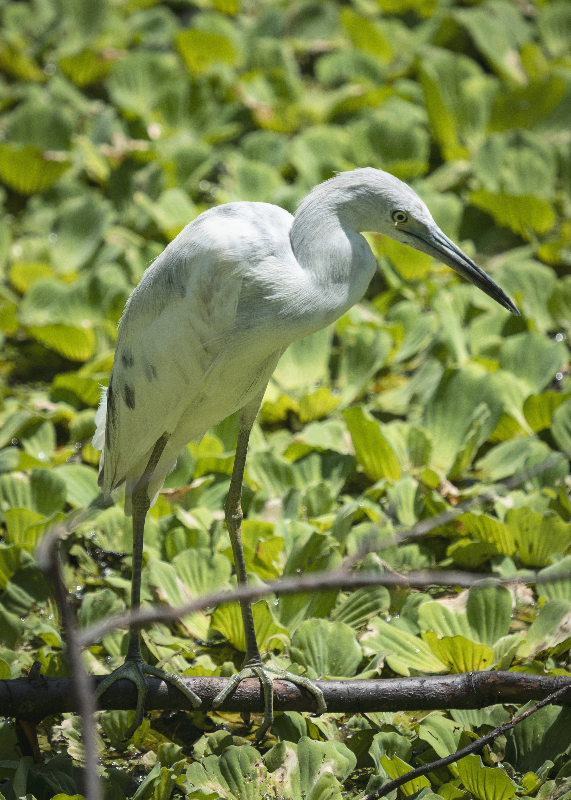 #heron, #blueheron, #corkscrew, #florida, #naples, #corkscrewswampsanctuary, #juvenile, #whoami, #birdphotography