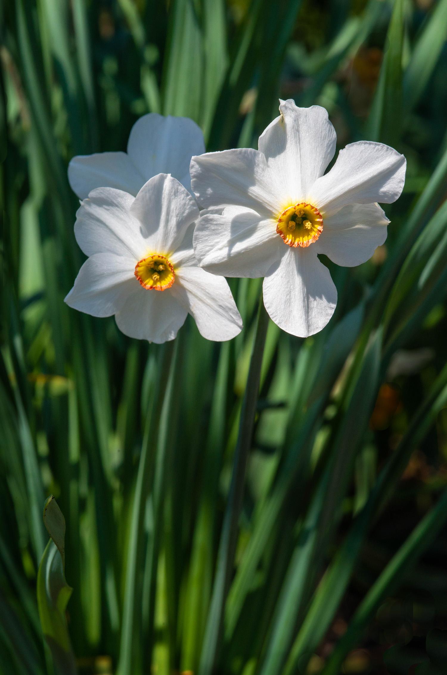 #daffodils, #flowers, #spring, #pennsylvania, #beginning, #promise, #nikon