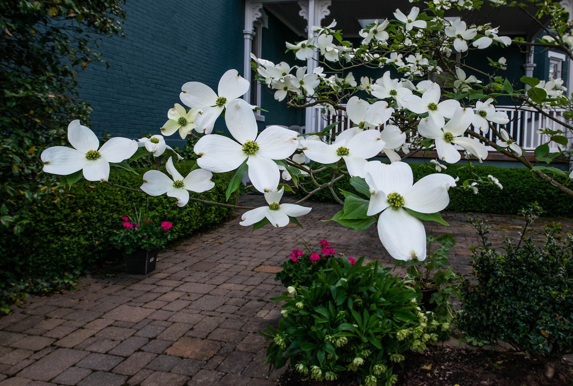 #spring, #dogwood, #whitedogwood, #backdoor, #pennsylvania, #sewickley, #may, #home