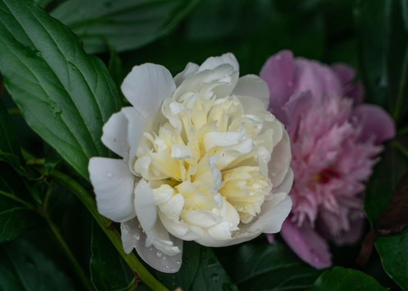 #peony, #white, #may, #spring, #rain, #season, #sony, #depthoffield