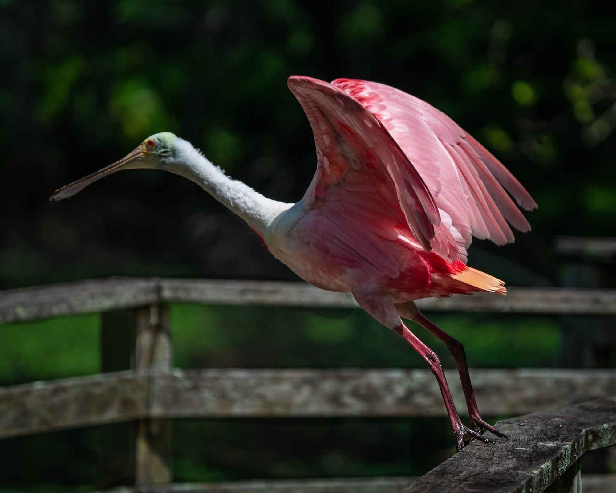 #roseatespoonbill, #florida, #bird, #feathers, #pink, #corkscrew, #profile, #flight