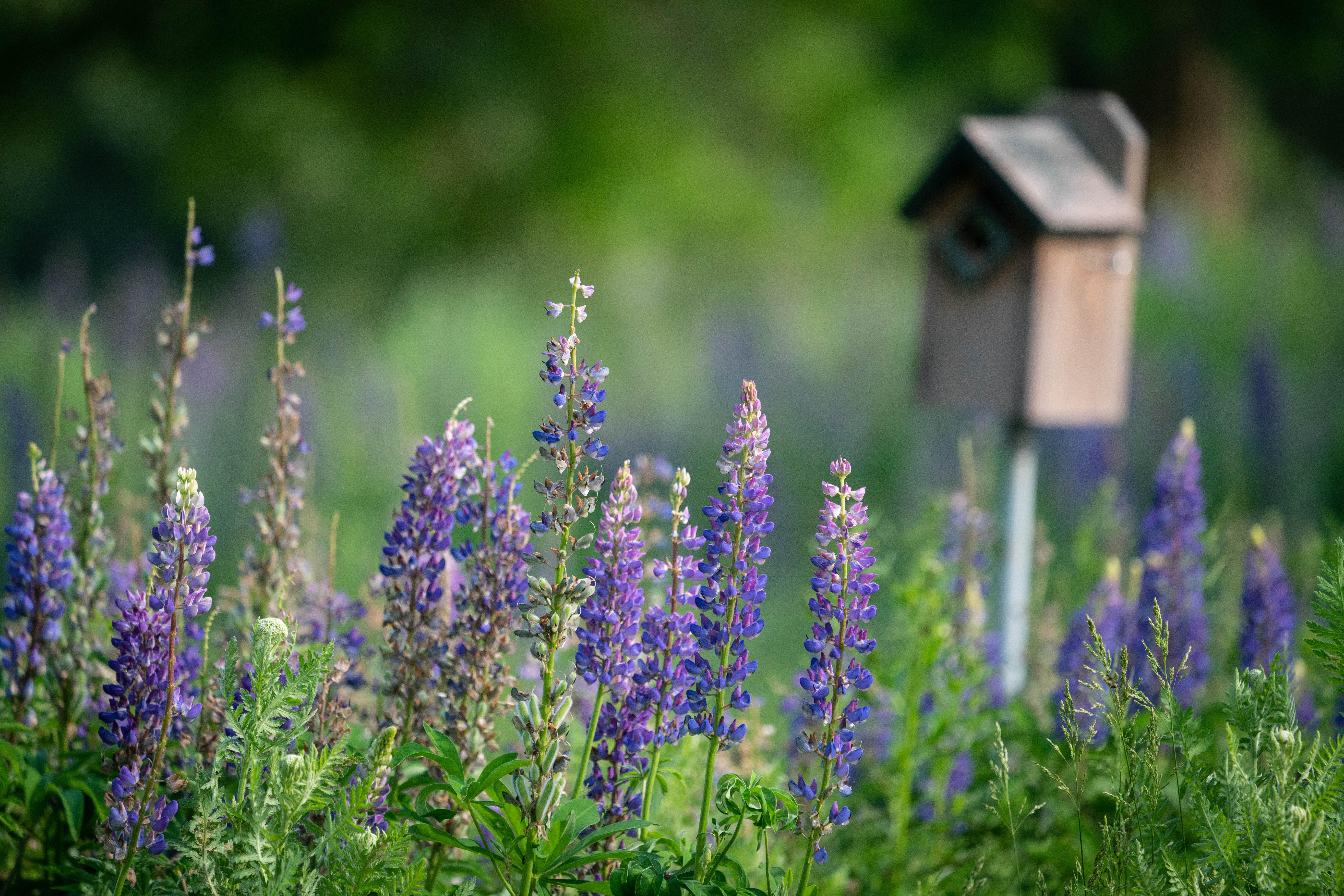 #lupine, #birdhouse, #meadow, #garden, #erika, #pennsylvania, #sewickley