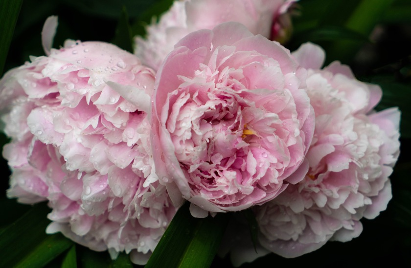 #pink, #peonies, #may, #rain, #raindrops, #spring, #nature, #flowers, #mybackyard, #bouquiet, #sony