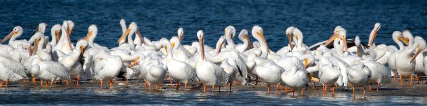 #pelicans, #whitepelican, #pelican, #sanibel, #dingdarling, #florida, #southwestflorida, #birds, #sunset, #flock, #nature, #birdphotography, #wildlife