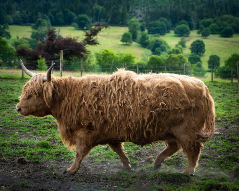 #scotland, #scottish, #highlands, #highlandcow, #hairycoo, #cow, #bull, #bigfella