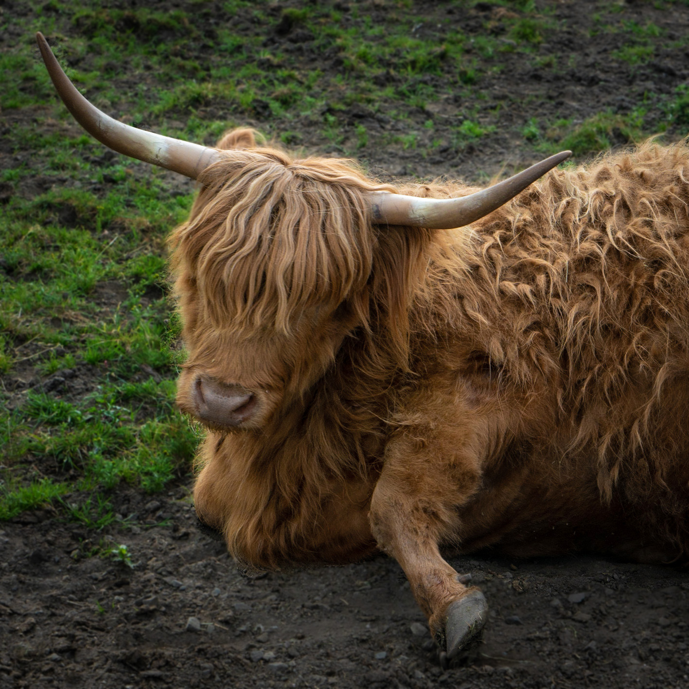 #scotland, #highlands, #highlandcow, #cow, #hairy, #hairycoo, #cute, #whatishethinking