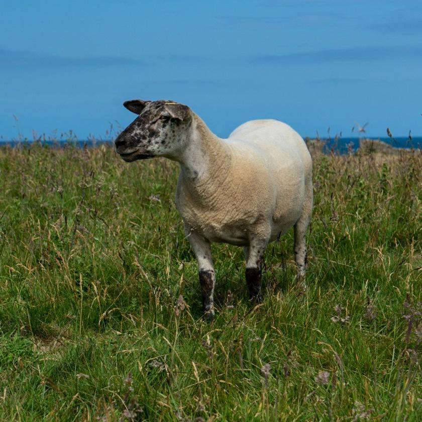 sheep-8312
