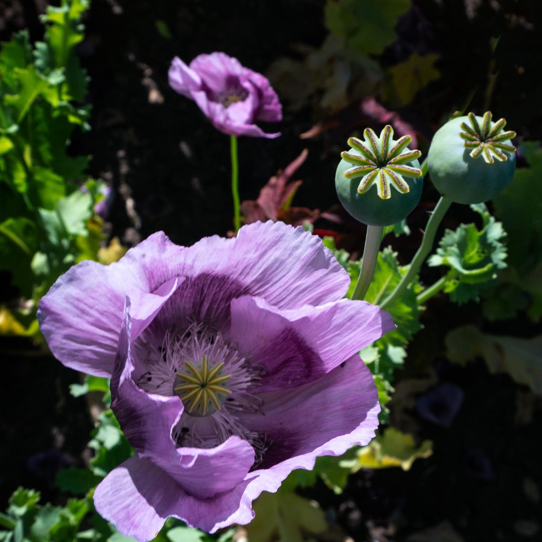 #poppy, #bud, #opium, #opioid, #heroin, #chemical, #flower, #england, #castle, #garden