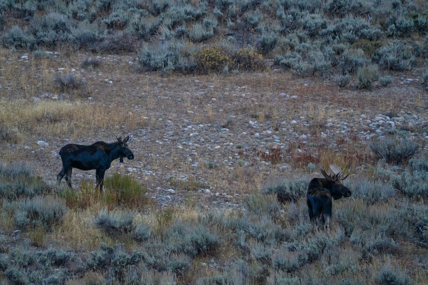 #moose, #behavior, #male, #grandtetonnationalpark, #sony, #sony100-400mm, #wildlife, #brushback, #nationalparks, #wyoming, #nature