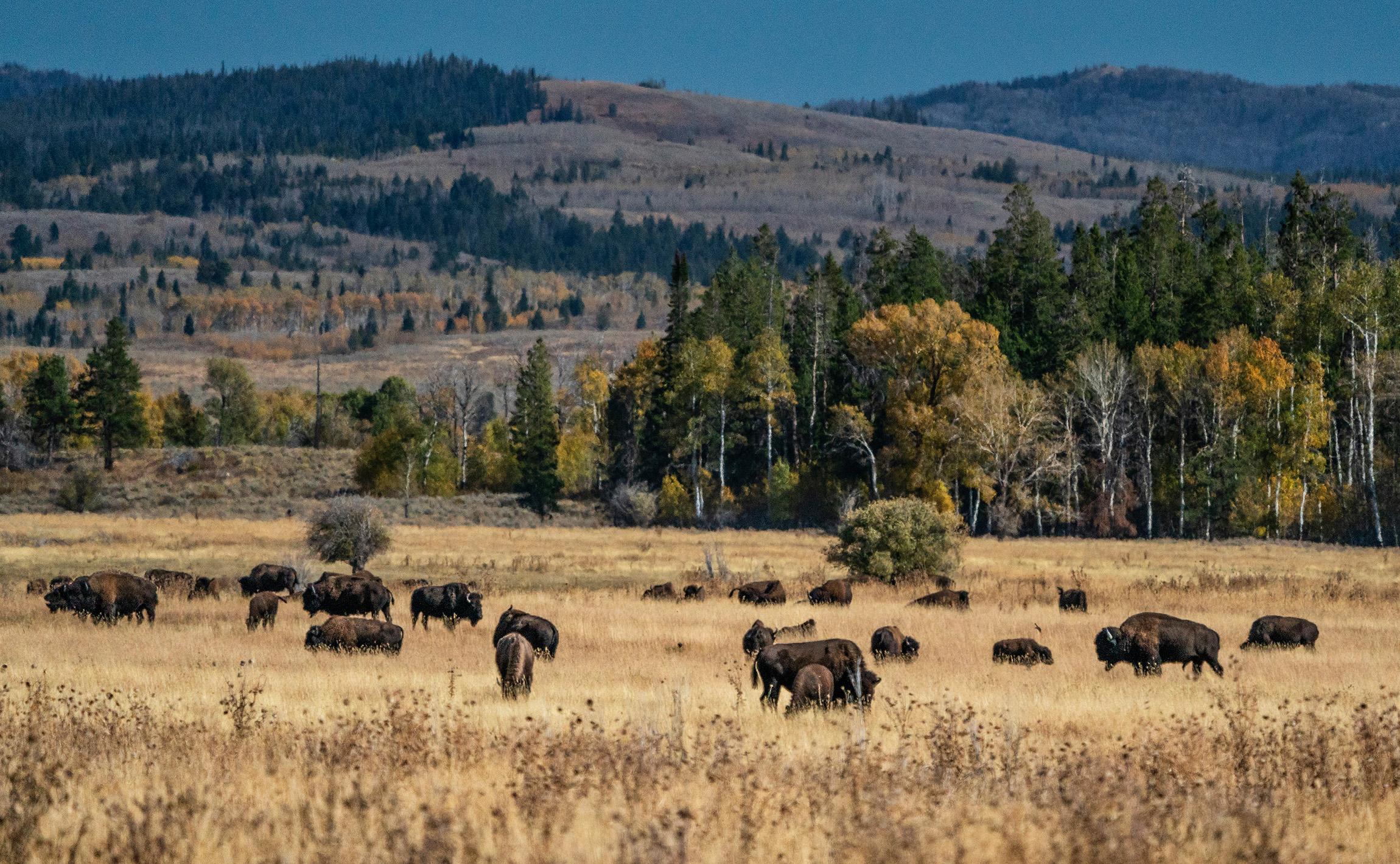 #bison, #buffalo, #grandtetonnationalpark, #jacksonhole, #jacksonholeairport, #wildlife, #landscape, #sony