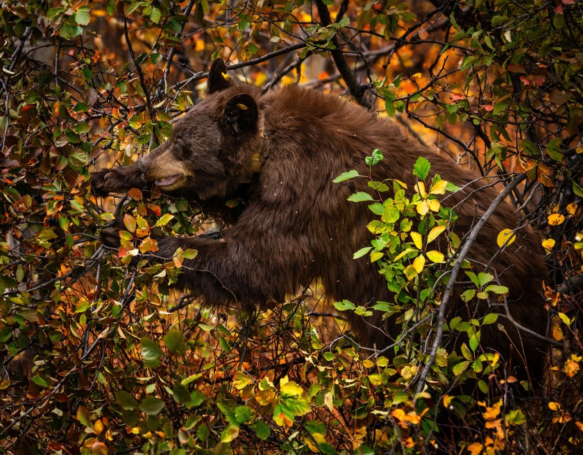 #blackbear, #berries, #wildlife, #bear, #bears. #grandtetonnationalpark, #nationalpark, #trees, #fall, #september, #hiibernation