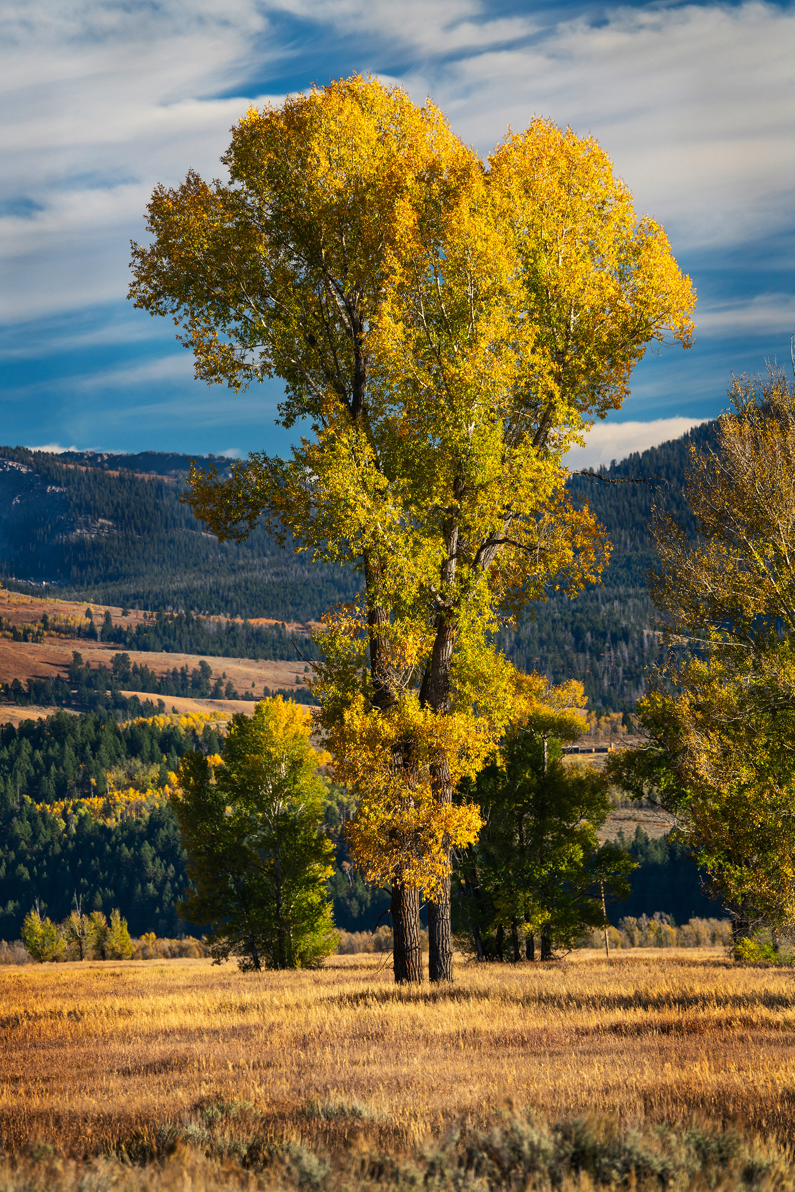 #fallcolor, #grandtetons, #jacksonhole, #trees, #nationalparks, #grandtetonnationalpark, #september, #golden, #yellow, #seasons, #landscape, #photography, #sony