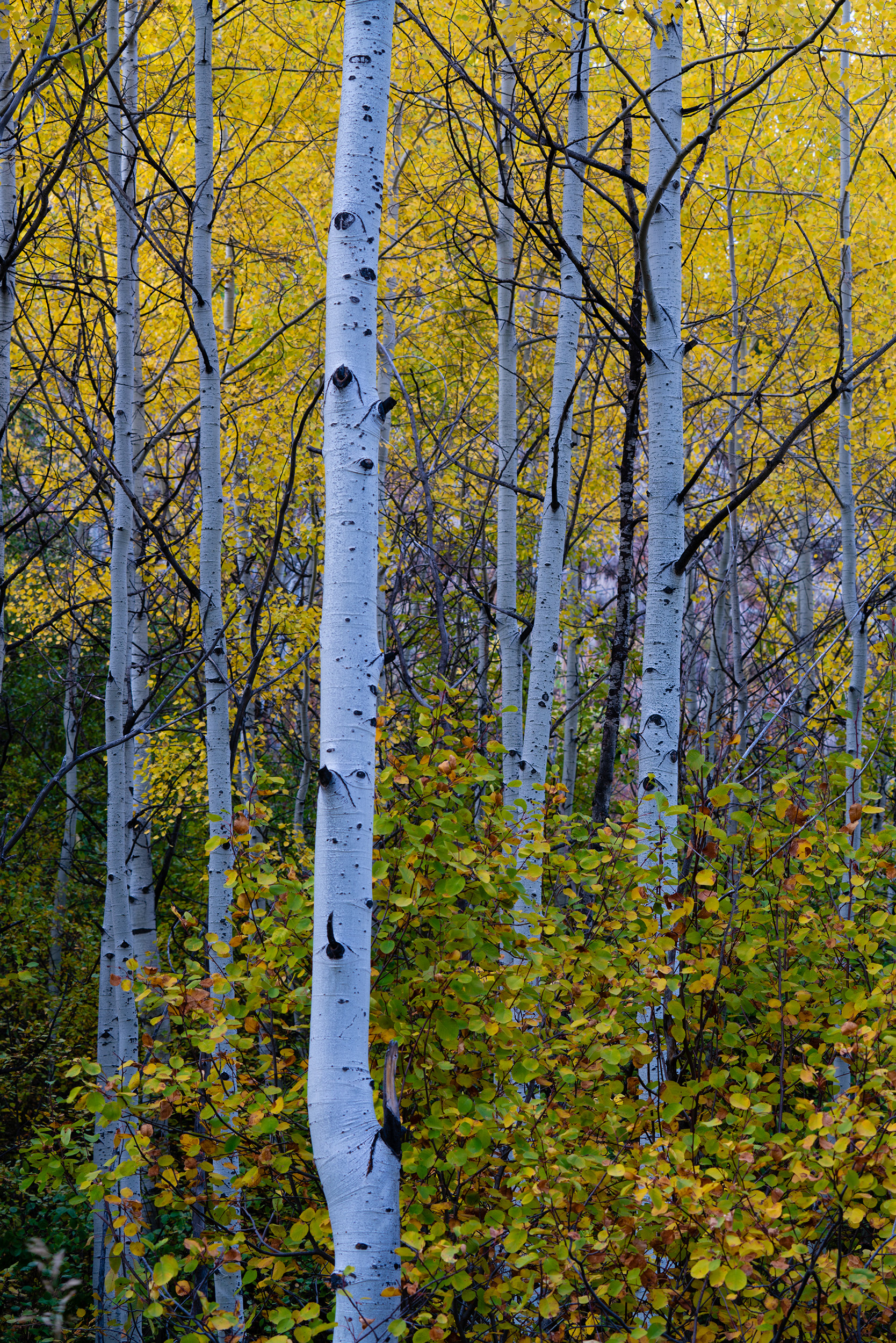 #aspens, #aspen, #trees, #vertical, #trunks, #whitetrunks, #forest, #clone, #yellow, #fallcolor, #pattern