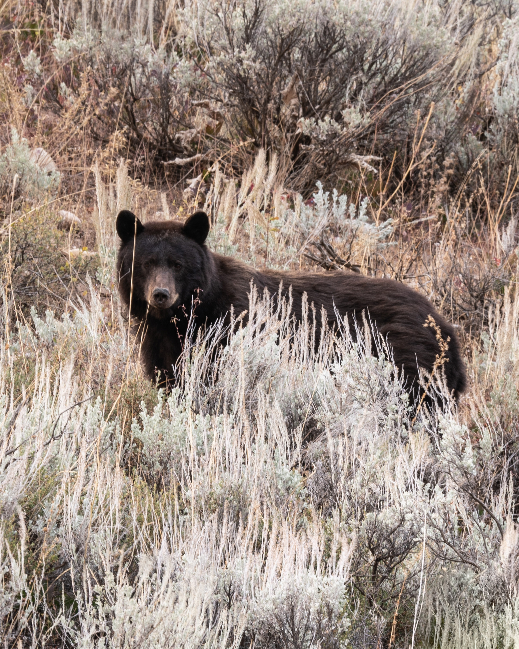 #bear, #grandtetonnationalpark, #grandtetons, #nationalpark, #wildlife, #sony, #RRS, #tripod, #staysafe, #keepyourdistance