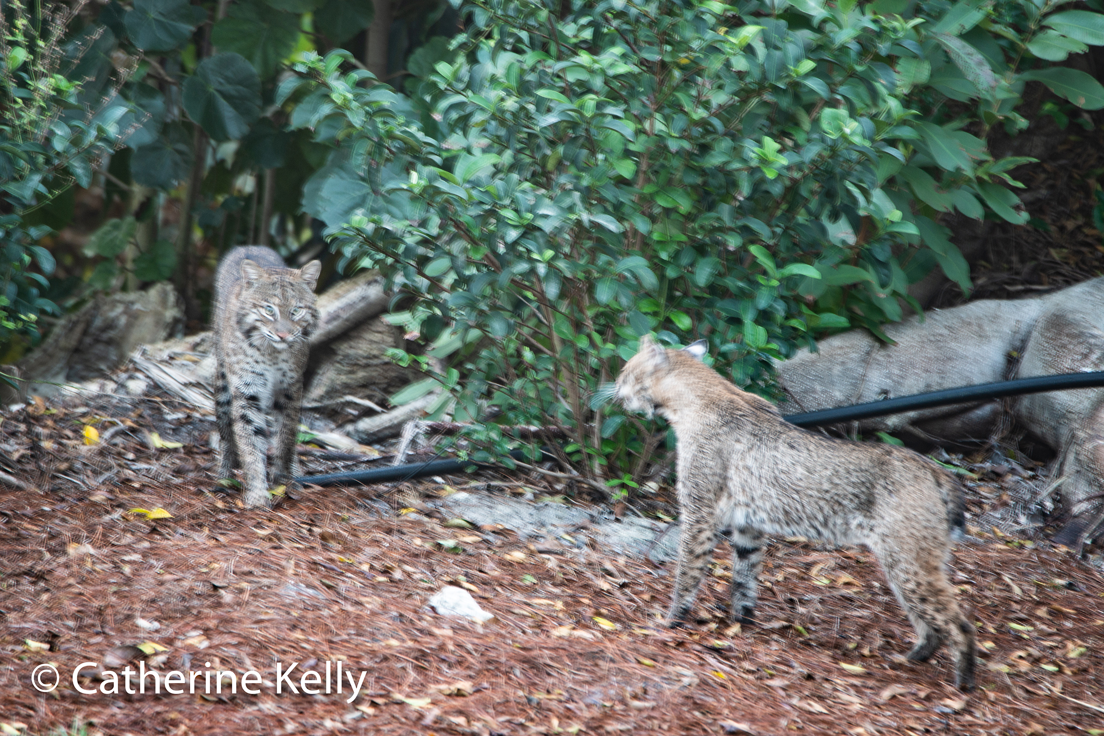 #bobcats, #wildlife, #nature, #florida