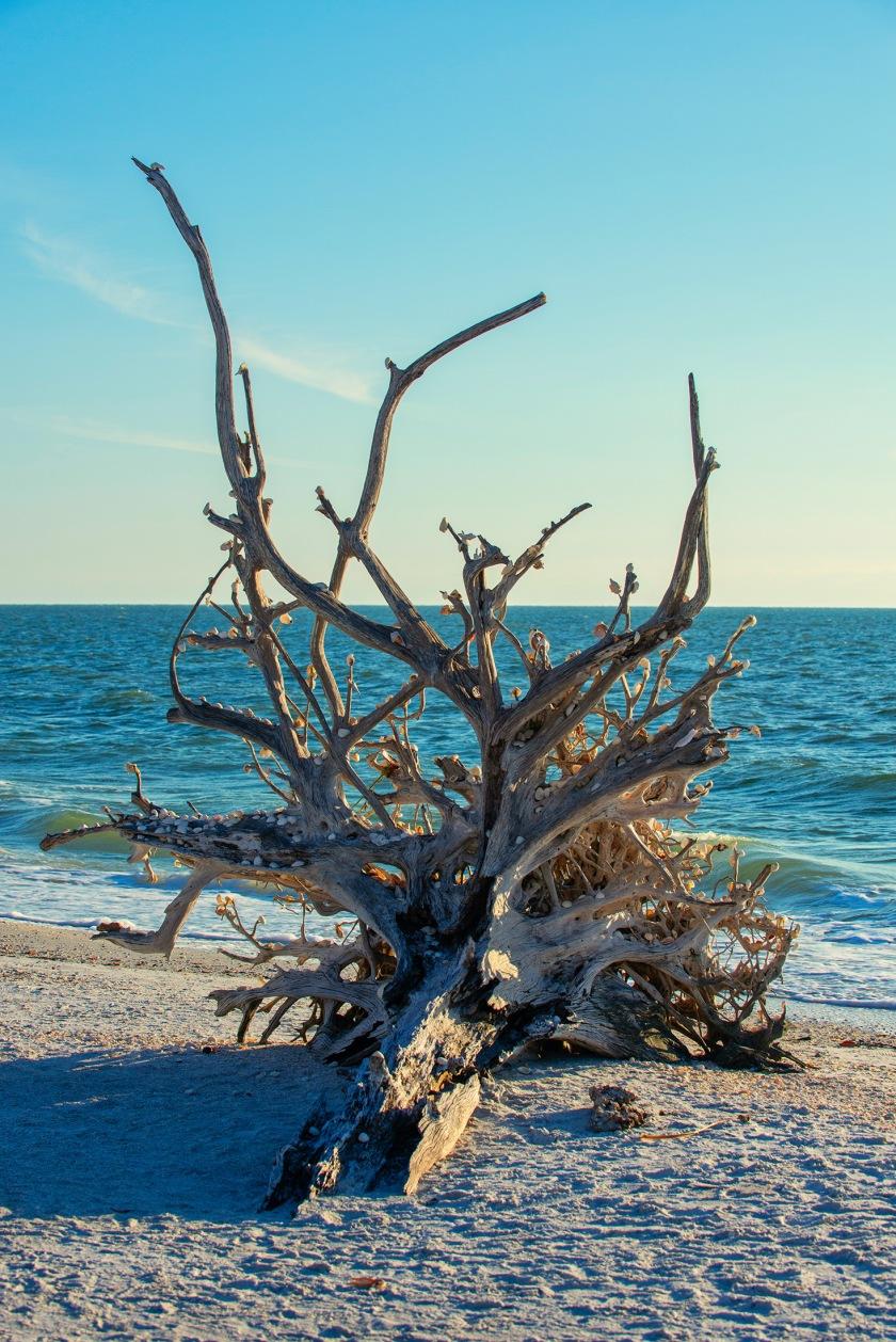 #tree, #shelltree, #memory, #persistence, #dontgiveup, #history, #nature, #erosion, #life, #dead,#care, #loverskey, #florida