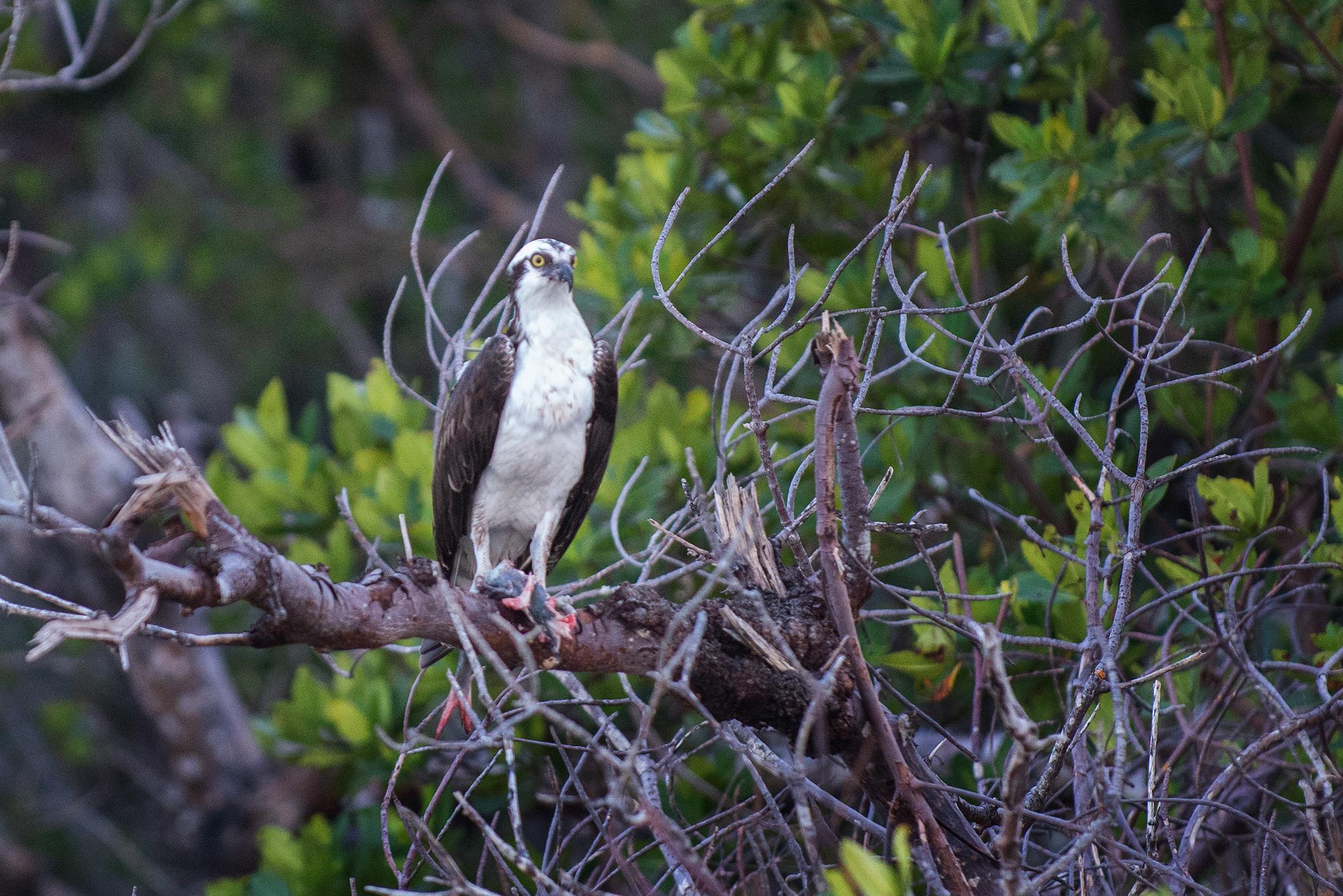 #osprey, #florida, #rookerybay, #southwestconservancy, #ecocruise, #prey, #fish, #raptor, #naples, #nikon