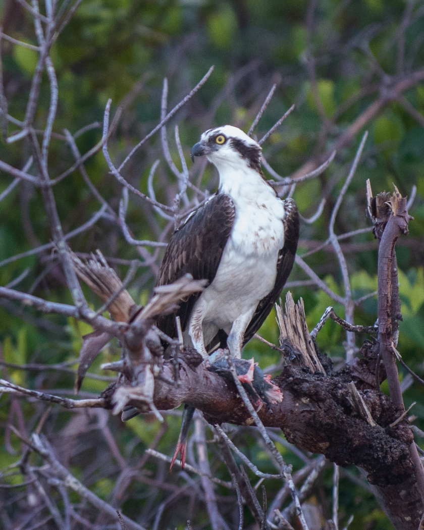 osprey, #raptor, #prey, #fish, #nature, #wildlife, #florida, #naples, #southwestconservancy, #rookerybay, #ecocruise, #nikon