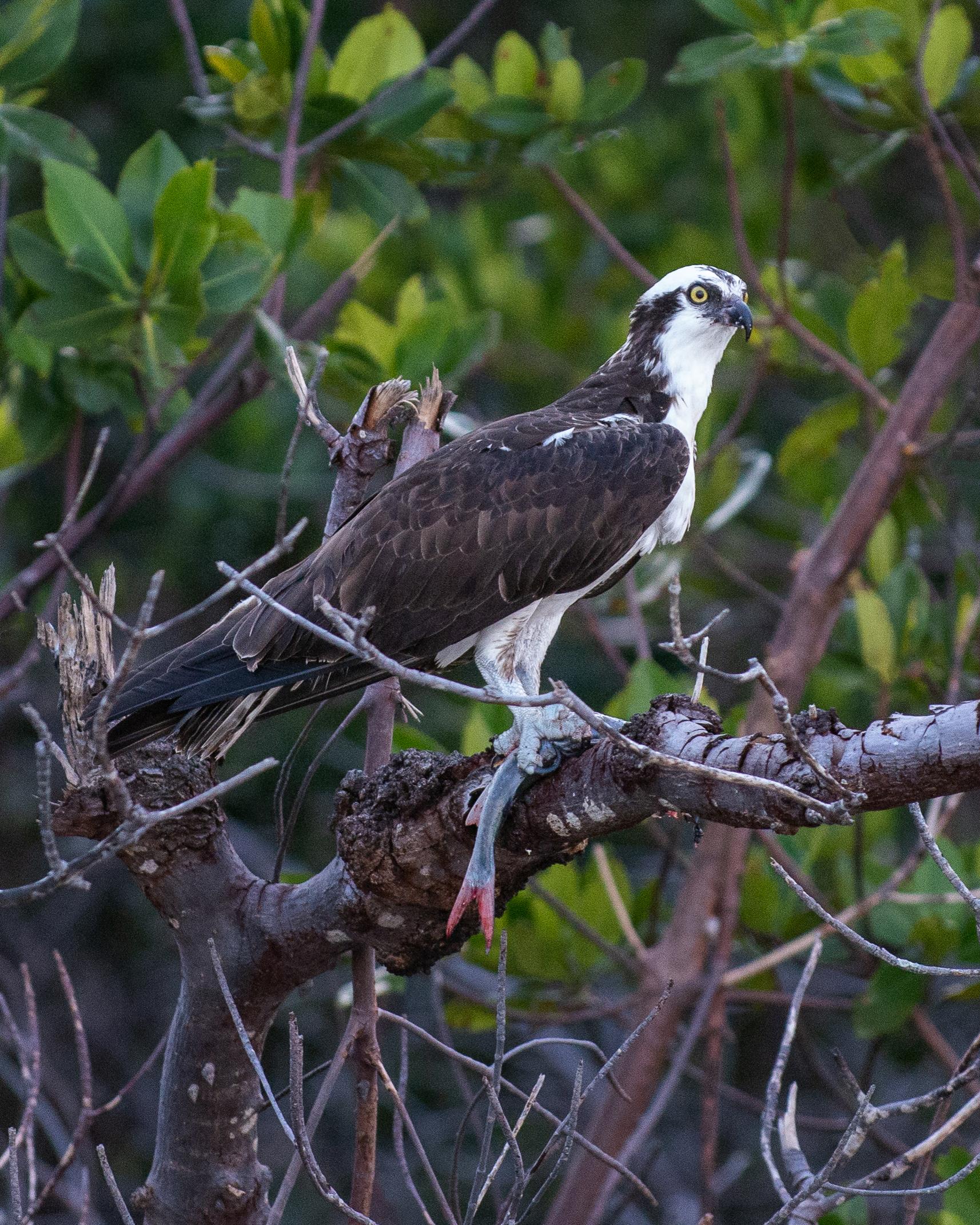 #osprey, #raptor, #wildlife, #nature, #prey, #fish, #rookerybay, #southwestconservancy, #naples, #florida, #nikon