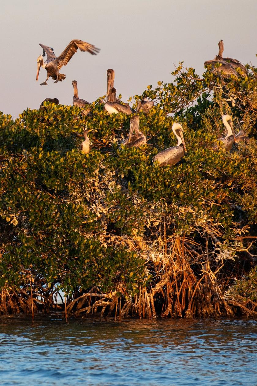#rookeryisland, #rookerybay, #naples, #florida, #sunset, #safety, #landing, #pelican, #mangrove, #estuary, #nature, #nikon
