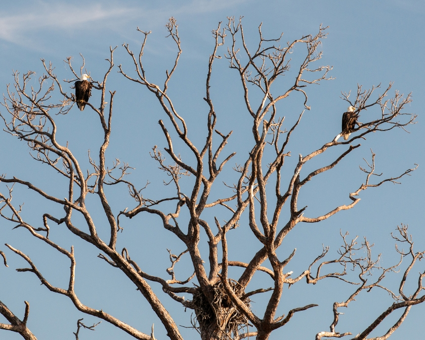 #baldeagles, #eagles, #eaglepair, #nesting, #southwestflorida, #rookerybay, #birding, #birdphotography, #wildlife, #southwestconservancy, #naplesflorida, #nikon