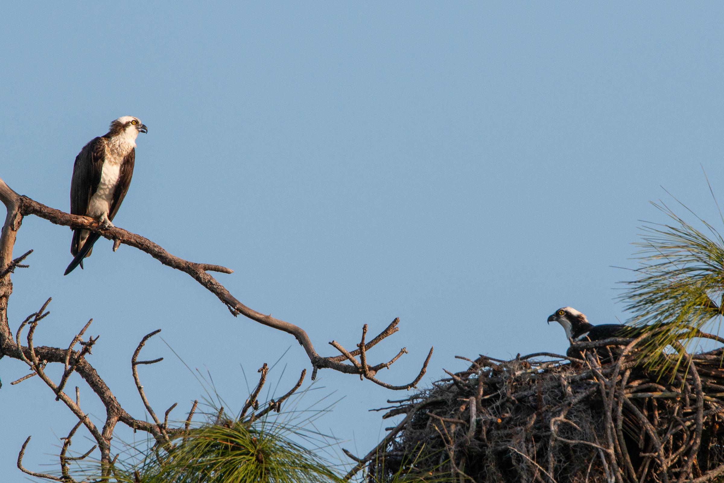 #osprey, #mating, #nest, #tamronlens, #nikond800