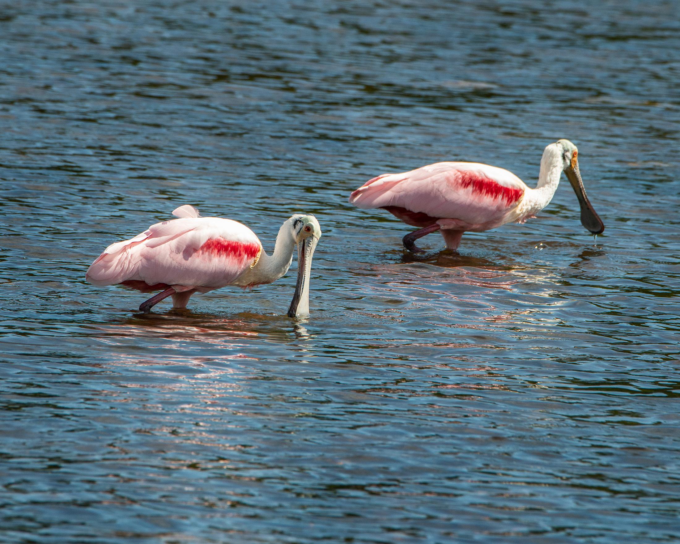 #roseate, #roseatespoonbill, #dingdarling, #sanibel, #birds, #birdphotography, #wadingbirds, #wildlife, #lowtide, #nikon