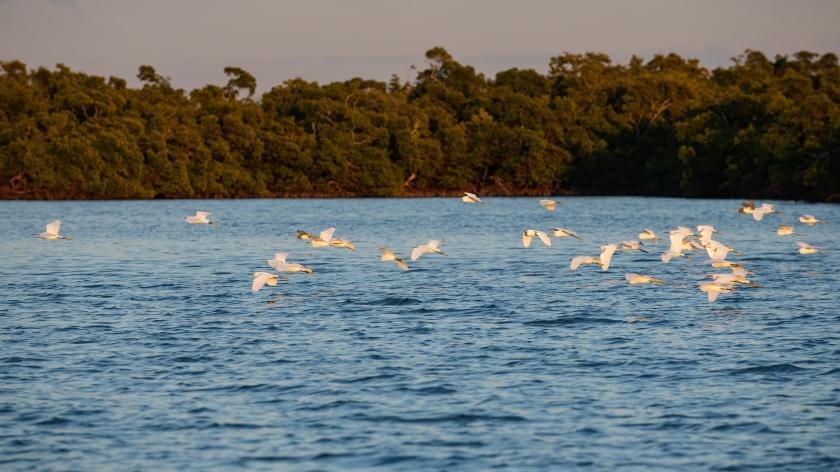 #snowyegret. #sunset, #rookerybay, #rookeryisland, #flock, #fllight, #wildlife, #birdphotography, #nikon, #birds, #florida, #southwestflorida, #behavior, #naples