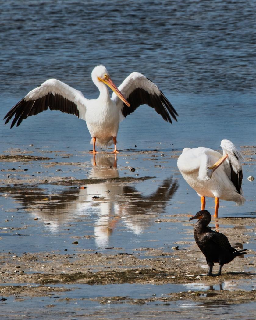 #whitepelicans, #pelican, #cormorant, #dingdarling, #sanibel, #sanibelisland, #florida, #birds, #birdphotography, #nikon, #sandbar, #wings, #wingspan, #attention, #pair, #sweetie, #valentine, #wildlife