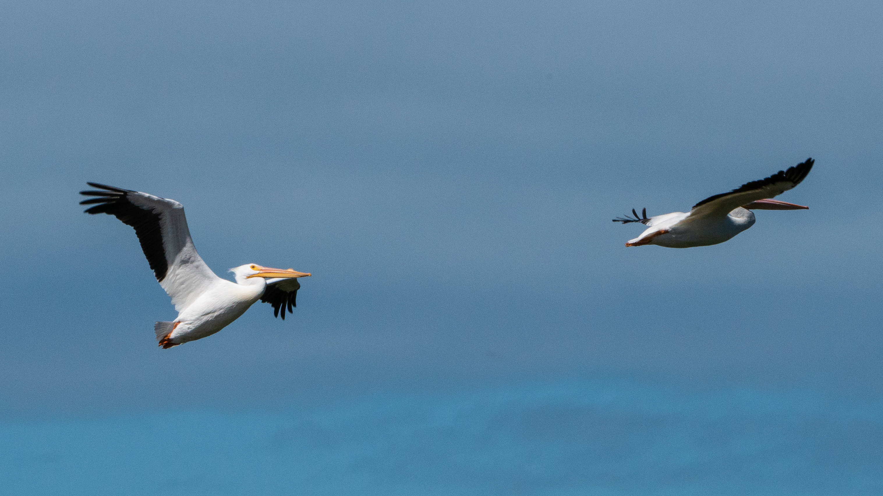 #whitepelican, #pelican, #flying, #inflight, #wings, #sky, #howto, #nikon, #tamron