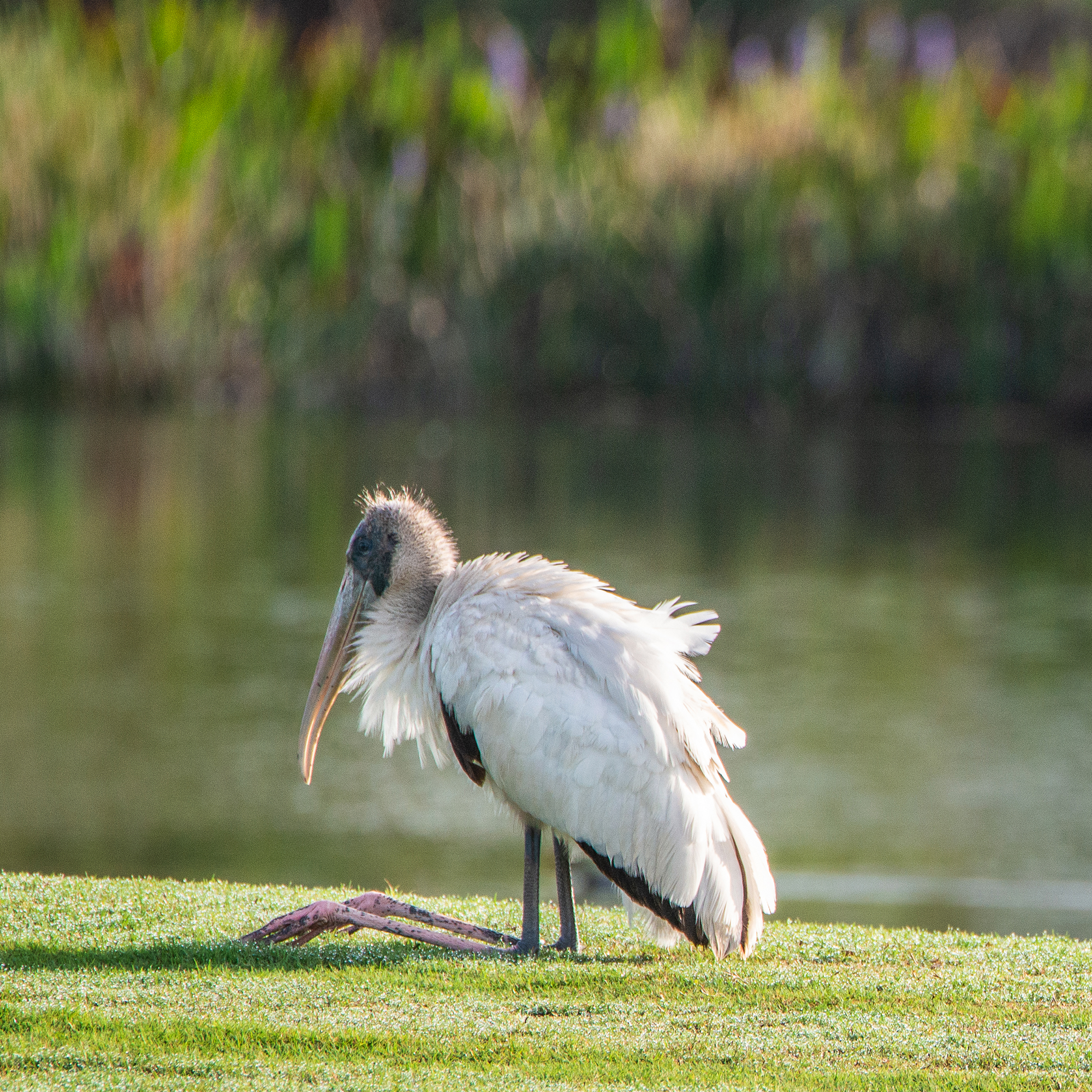 #woodstork, #bird, #threatened, #threatenedspecies, #nesting, #preening, #florida, #golfcourse, #naples