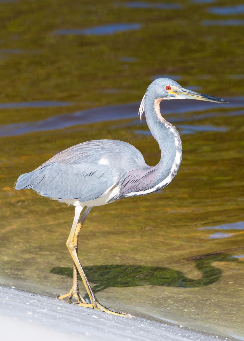 tricolorheron, feathers, eye, closeup, nature, wildlife, fishing, feeding, wading, foraging, march, Florida, beach, Bunche, fortmyersbeach