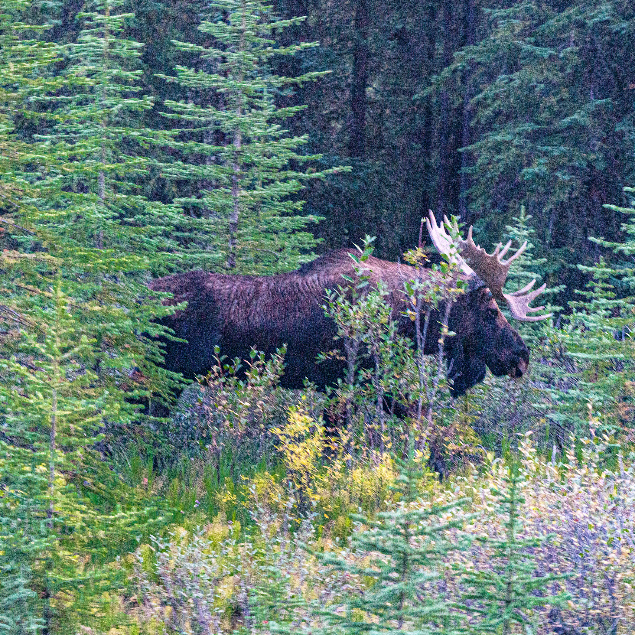 moose, canada, Alberta, jasper, horns, wildlife, safety, male, woods, sundog, sony