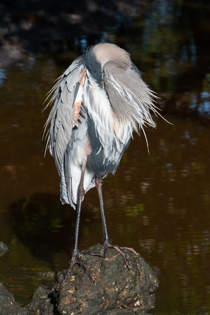 #heron, #greatblueheron,#breeding plumage, #preening, #preen, #wildlife, #behavior