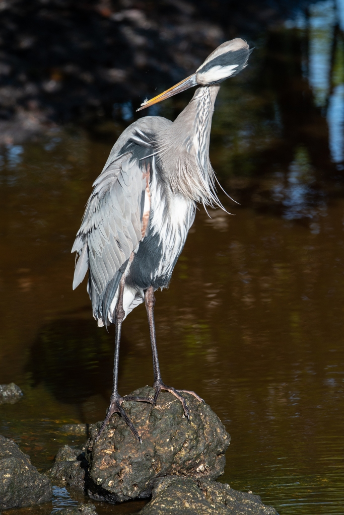 #heron, #greatblueheron, #preening, #behavior, #preen, #preening, #wildlife, #birdphotography