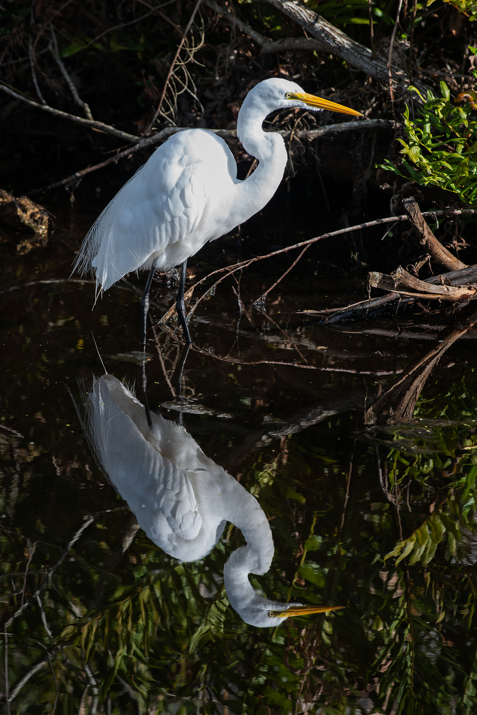 #greategret #egret, #birdphotography, #nikon, #pelicanbayflorida, #naples, #florida, #reflection, #mirror