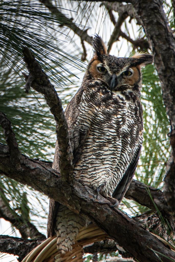 #greathornedowl, #owl, #nest, #naplesfl, #naples, #birdphotography, #nikon, #tamronlens, #600mmtamron, #eyes, #eyecontact