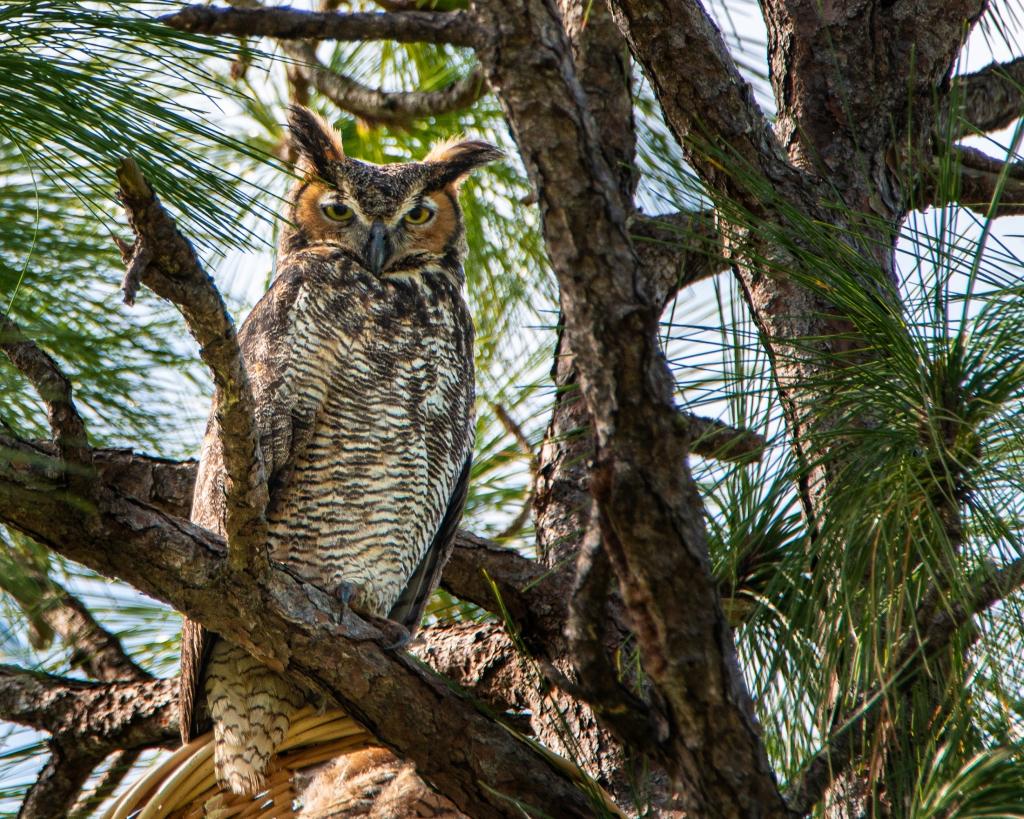 #greathornedowl, #owl, #nest, #owlsnest, #naplesfl, #guarding, #birdphotography