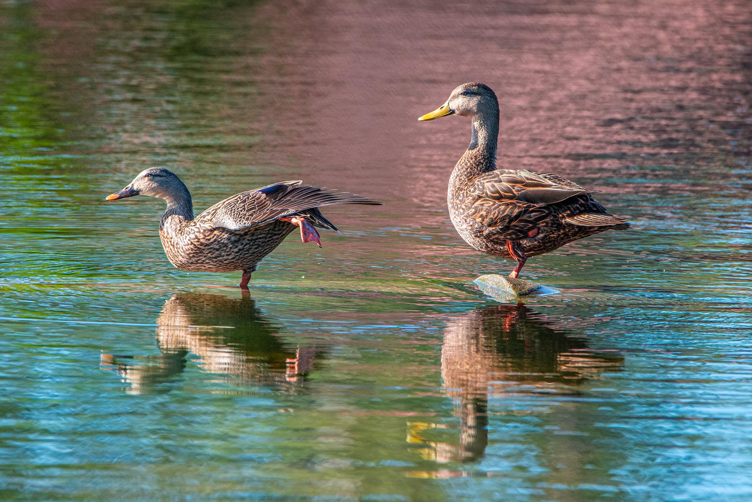 #mallard, #ducks, #mallardduck, #pose, #leg, #female, #pair, #morninglight, #reflection, #lake, #florida, #naples, #nikon, #tamron, #wildlife, #birds
