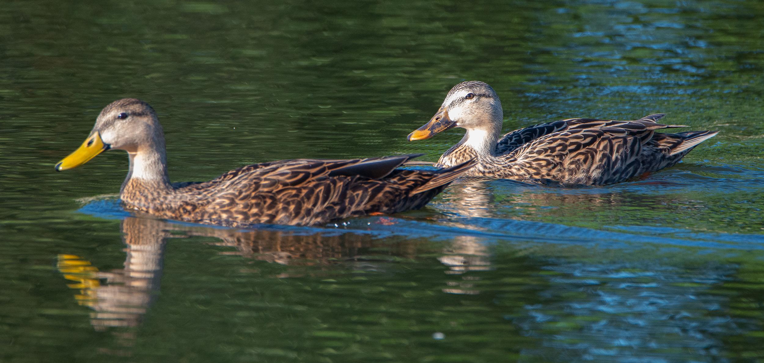 #mallard, #ducks, #lake, #color, #swimming, #pair, #female