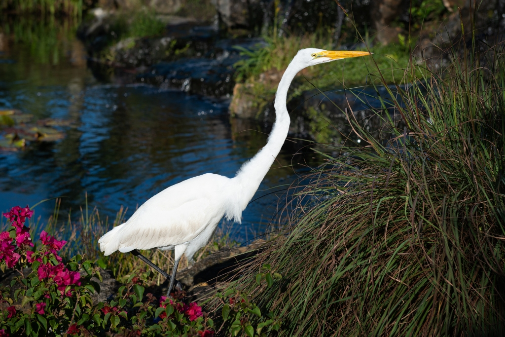 #egret, #greategret, #white, #bird, #birdphotography, #tropical, #naplesbotanicalgarden, #floida, #naplesflorida, #color, #wildlife