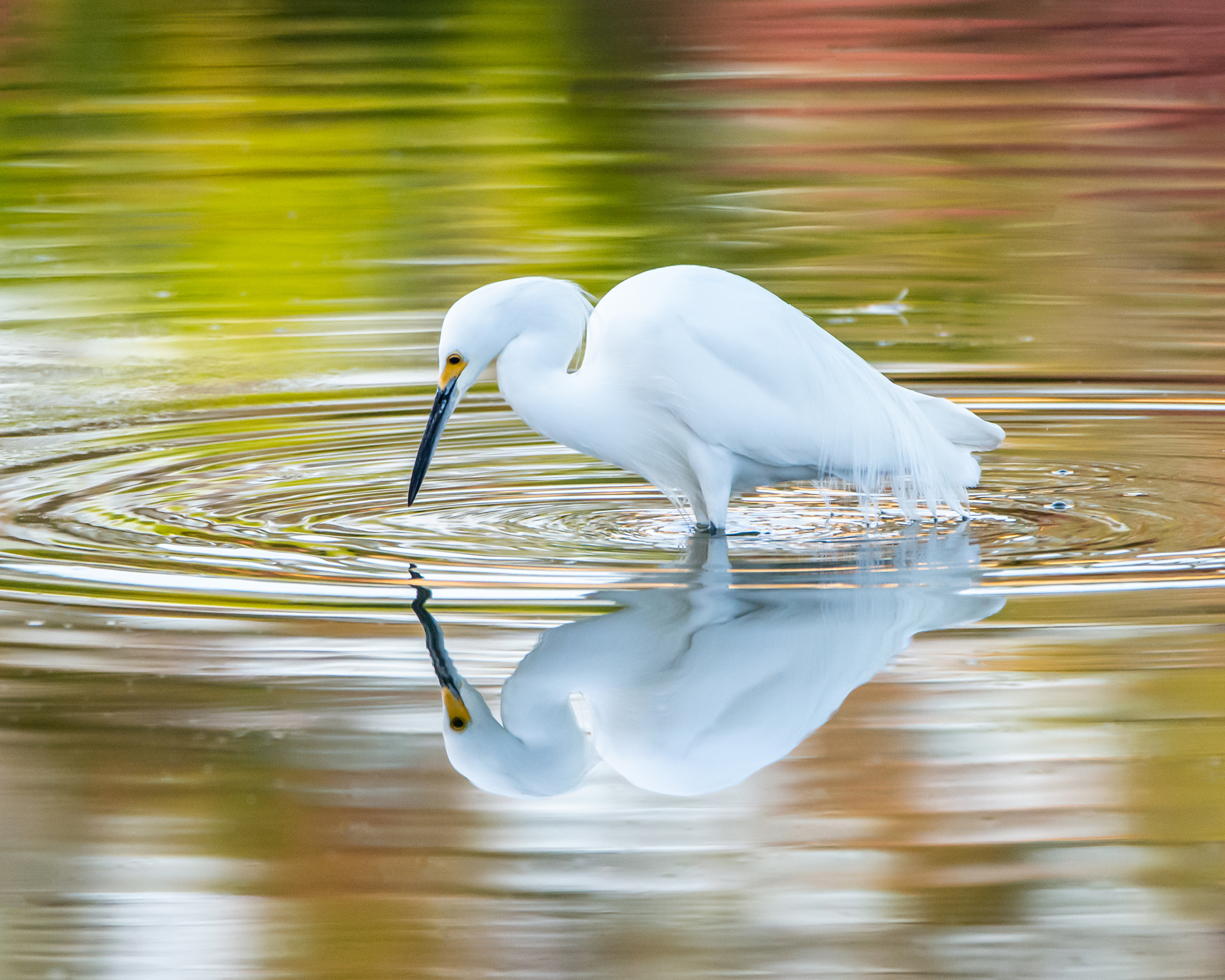 #egret, #greategret, #mirror, #reflection, #colors, #ripples, #symmetry, #narcissus, #greekmythology, #naplesflorida, #naples, #naturephotography, #morninglight, #texture