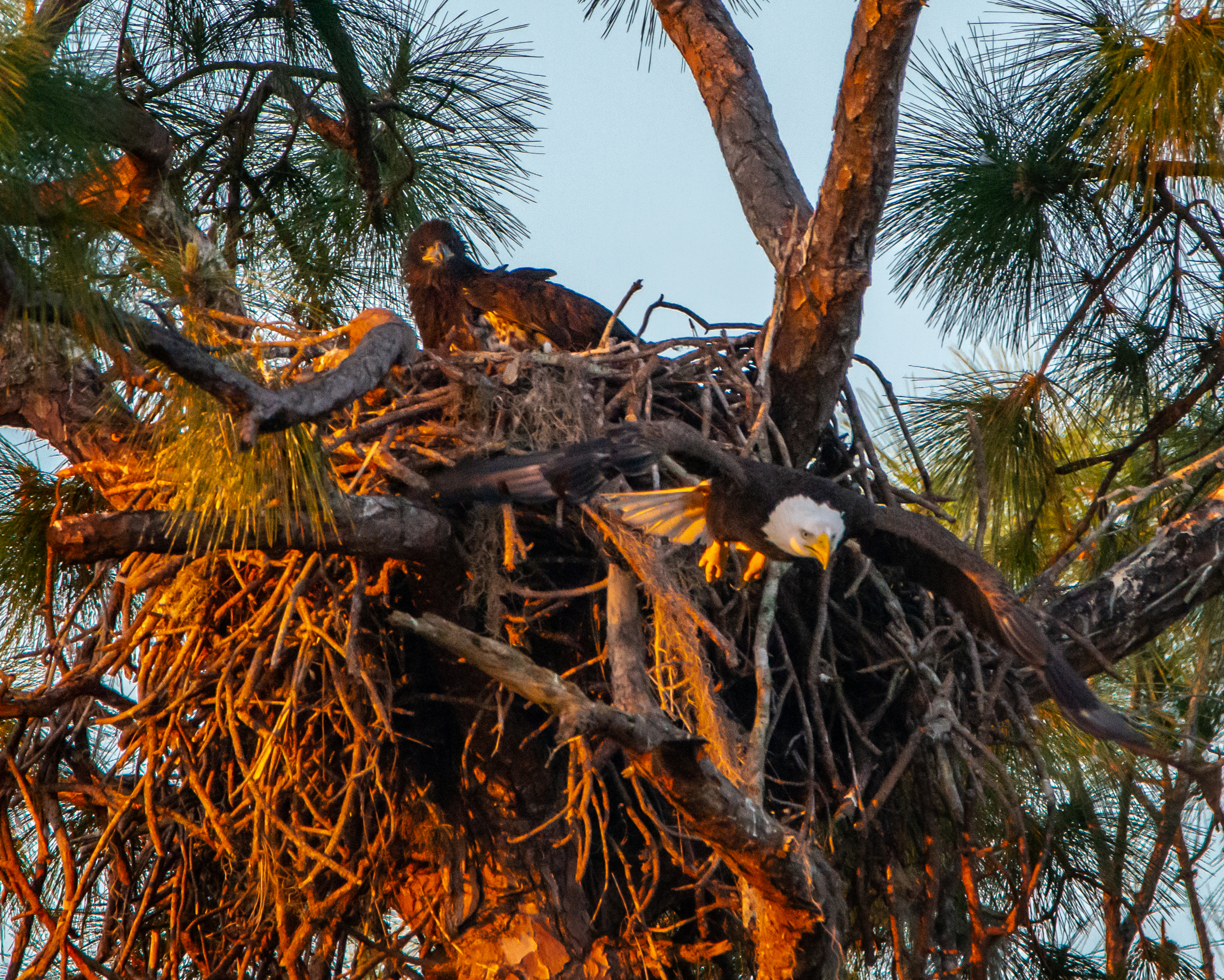 #eagle, #baldeagle, #stleo, Saintleo, #naplesflorida, #naples, fledgling, #youngster, #eaglet, #hunt, #fledge, #notyet, #waitingforfood, #mother, #parent