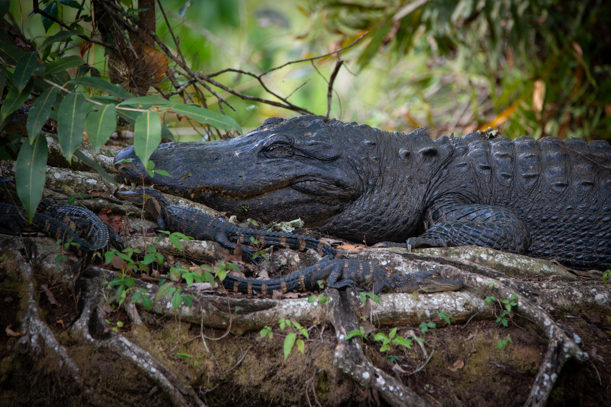 #alligator, #gator, #wildlife, #dangerous, #mother, #babies, #wildlifephotography, #nikon, #tamron, #florida, #corkscrew, #corkscrewswampsanctuary, #thingstodo, #naples, #territory