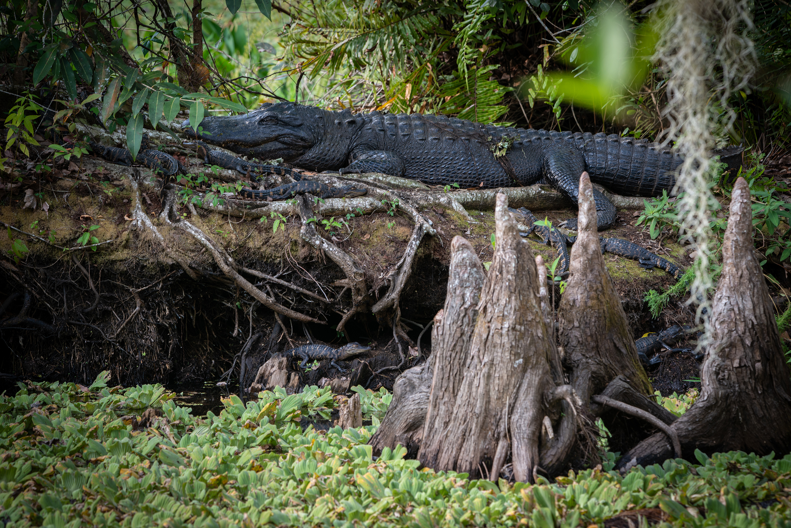 #alligator, #reptile, #wildlife, #mother, #babies, #gator, #corkscrew, #florida, #thingstodo, #corkscrewswampsanctuary, #wildlife, #wildlifephotography, #nikon, #tamron, #howmany #dangerous, #territory