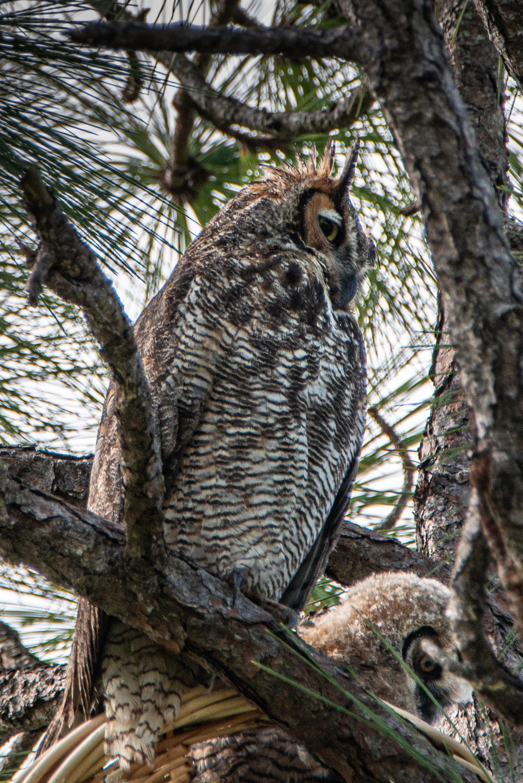 #greathornedowl, #owl, #motherandchild, #owlandowlet, #owlet, #nest, #owlnest, #parentchild, #wildlife, #nature, #birdphotography